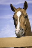 Brown Chestnut Horse Biting On Fence. Head close-up of horse biting on fence Royalty Free Stock Photo