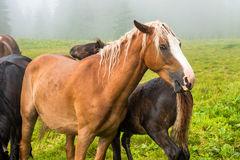 Brown chestnut horse with white mane Royalty Free Stock Photo
