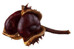 Brown chestnuts isolated on white background, clipping path Royalty Free Stock Image