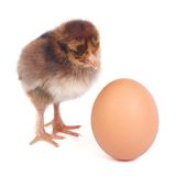 brown chick waits for the eggs to hatch from his friend Stock Image