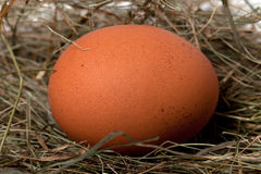 Brown chicken egg in nest. Close-up view royalty free stock images
