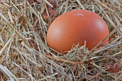Brown chicken egg in a nest. With feather Royalty Free Stock Photos