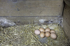 Brown chicken eggs Royalty Free Stock Photo