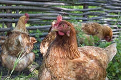 Brown chicken in a flock Royalty Free Stock Photos