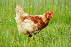 Brown chicken in grass Stock Images