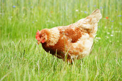 Brown chicken in grass Royalty Free Stock Images