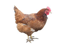 Brown chicken hen isolated over white. Background Royalty Free Stock Image