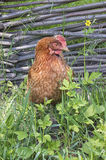 Brown chicken lays an egg Royalty Free Stock Images