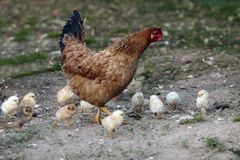 Brown Chicken with little chicks Royalty Free Stock Photography