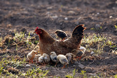 Brown Chicken with little chicks. Brown Chicken with chicks when walking in a morning of the tow Royalty Free Stock Photo