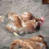 Brown chicken outside poultry farm in holland takes sand bath Royalty Free Stock Image