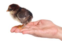 Brown chicken on a palm isolated Stock Photos