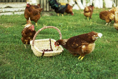 Brown chicken. Pecks chestnuts.well in the land of their own smells of hay, morning in the village Royalty Free Stock Photo