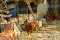 Brown chicken standing near coop Royalty Free Stock Photography