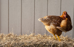 Brown chicken on straw bale. Profile of a brown feathered chicken on a straw bale Stock Images