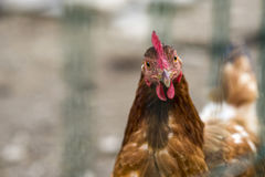 Brown chicken on a village farm. Chicken on a village farm royalty free stock images