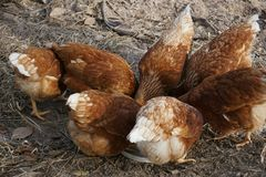 Brown chickens eating. Look so hungry Royalty Free Stock Image