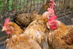 Brown chickens. Four brown chickens in a henhouse stock photography