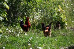 Brown chickens graze on green grass. Royalty Free Stock Photos