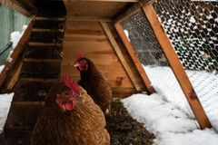 Brown chickens in home made chicken coup at the rural backyard, royalty free stock image