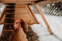 Brown chickens in home made chicken coup at the rural backyard,. In winter. Cinematic effect stock image