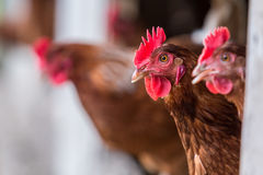 Brown Chickens Royalty Free Stock Photos