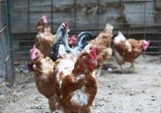 Brown chickens walking around the chicken coop.  Stock Photo