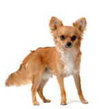 Brown chihuahua Royalty Free Stock Photo