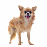 Brown chihuahua Stock Images