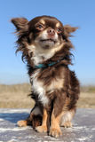 Brown chihuahua Royalty Free Stock Images