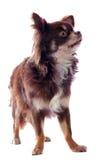 Brown chihuahua Royalty Free Stock Image