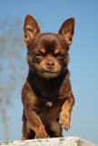 Brown Chihuahua Royalty Free Stock Photography