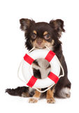 Brown chihuahua dog holding a life buoy Royalty Free Stock Photo