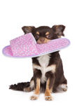 Brown chihuahua dog holding a slipper Stock Image