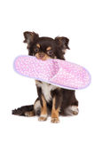 Brown chihuahua dog holding a slipper Royalty Free Stock Photos