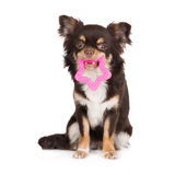 Brown chihuahua dog holding a toy Royalty Free Stock Photos