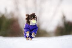 Brown chihuahua dog running outdoors in winter Royalty Free Stock Images