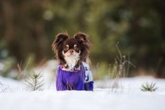 Brown chihuahua dog walking outdoors in winter Royalty Free Stock Images