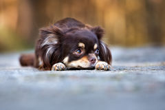 Brown chihuahua dog posing outdoors Stock Images
