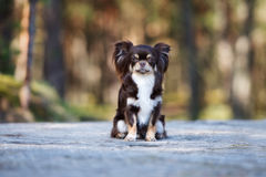 Brown chihuahua dog posing outdoors Royalty Free Stock Photography