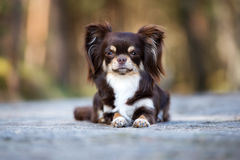 Brown chihuahua dog posing outdoors Royalty Free Stock Images