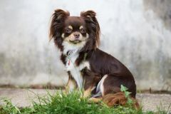 Brown chihuahua dog posing outdoors. Brown chihuahua dog sitting outdoors Stock Image