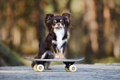 Brown chihuahua dog posing on a skateboard Stock Photography