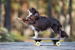 Brown chihuahua dog posing on a skateboard. Brown long haired chihuahua dog outdoors Stock Photo