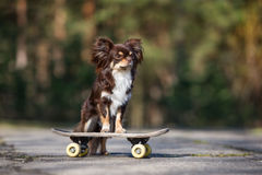 Brown chihuahua dog posing on a skateboard. Brown long haired chihuahua dog outdoors Royalty Free Stock Photos