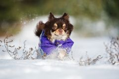 Brown chihuahua dog running outdoors in winter Royalty Free Stock Photography