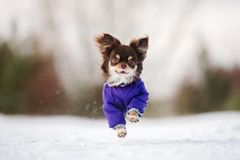 Brown chihuahua dog running outdoors in winter Stock Photo