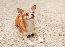 Brown chihuahua dog sitting Stock Photography