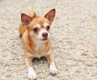 Brown chihuahua dog sitting Stock Image