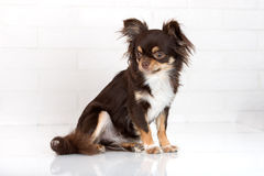 Brown chihuahua dog sitting indoors Royalty Free Stock Photography